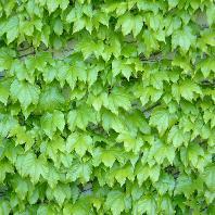 green wall thumb